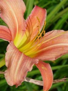 Hemerocallis 'Pink Damask' (Daglelie)