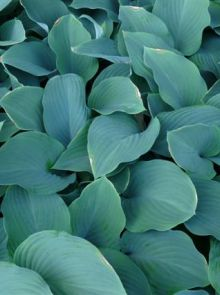 Hosta nigrescens 'Krossa Regal' (Hartlelie)