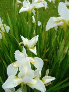 Iris siberica 'Snow Queen' (Siberische lis)