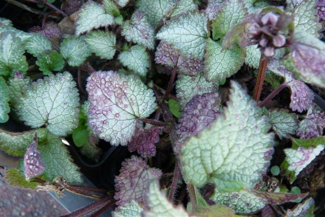 Lamium maculatum 'Beacon Silver' (Gevlekte dovenetel)