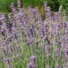 Lavandula angustifolia - p9