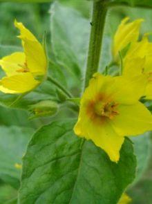 Lysimachia punctata (Puntwederik)