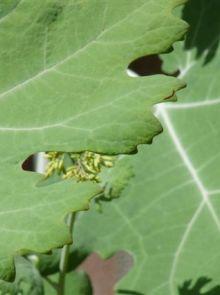 Macleaya cordata (Pluimpapaver)