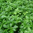 Pachysandra terminalis 'Green Sheen' - p9