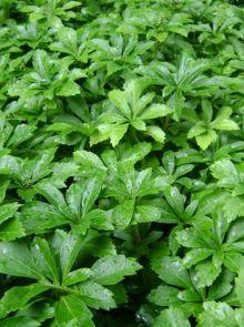 Pachysandra terminalis 'Green Sheen' (Schaduwkruid, Dikkemanskruid)