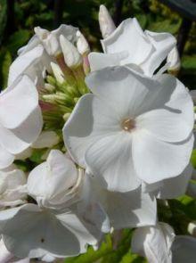 Phlox paniculata 'White Admiral' (Floks, vlambloem)