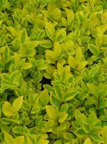Ligustrum ovalifolium 'Aureum' (bonte grootbladige haagliguster meeneemhaag)