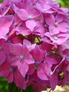 Hydrangea macrophylla Pia (Roze bolvormige hortensia)