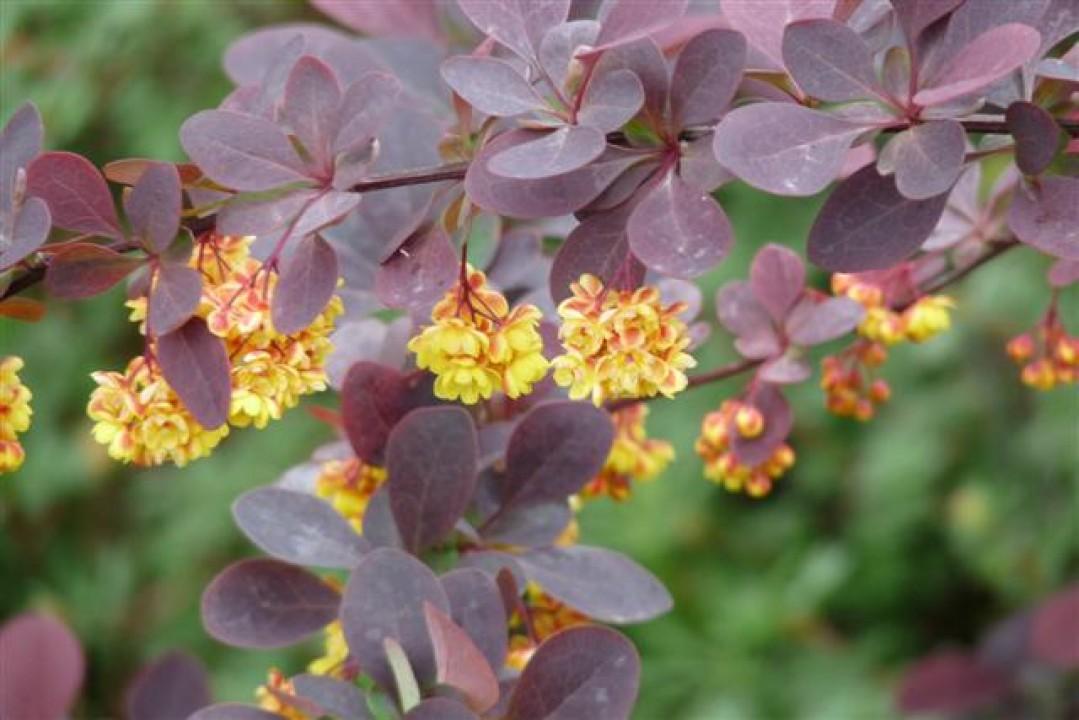 berberis thunbergii 39 atropurpurea nana 39 zuurbes de tuinen van appeltern. Black Bedroom Furniture Sets. Home Design Ideas