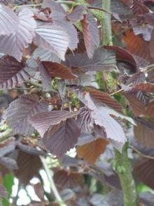 Corylus maxima 'Purpurea' (Roodbladige hazelnoot, Rode hazelaar, Lambertsnoot)