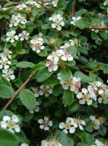 Cotoneaster dammeri (Groenblijvende dwergmispel)