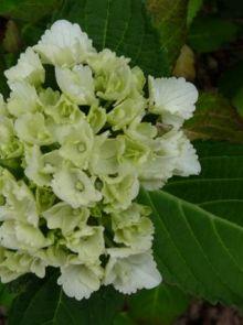Hydrangea macrophylla Schneeball (witte bolvormige Hortensia)