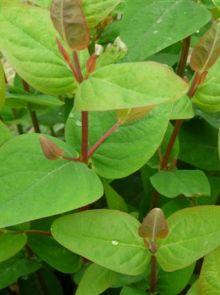 Hypericum androsaemum (Hertshooi)