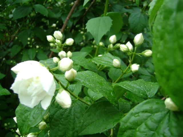 Philadelphus 39 manteau d 39 hermine 39 boerenjasmijn dwerg jasmijn de tuinen van appeltern - Philadelphus manteau d hermine ...