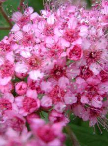 Spiraea japonica 'Anthony Waterer' (Spierstruik)