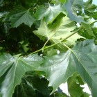 Platanus acerifolia dakvorm - 14-16 wrtg