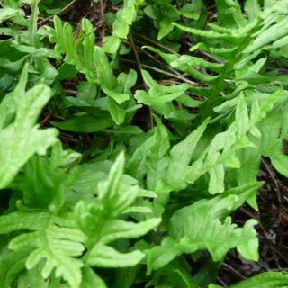 Gewone eikvaren (Polypodium vulgare) - p9