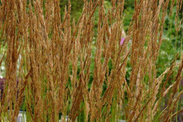 Calamagrostis acutiflora 'Karl Foerster' (Struisgras, Bosstruisgras)