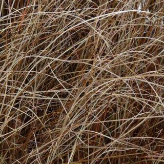 Carex buchananii (Rode zegge)