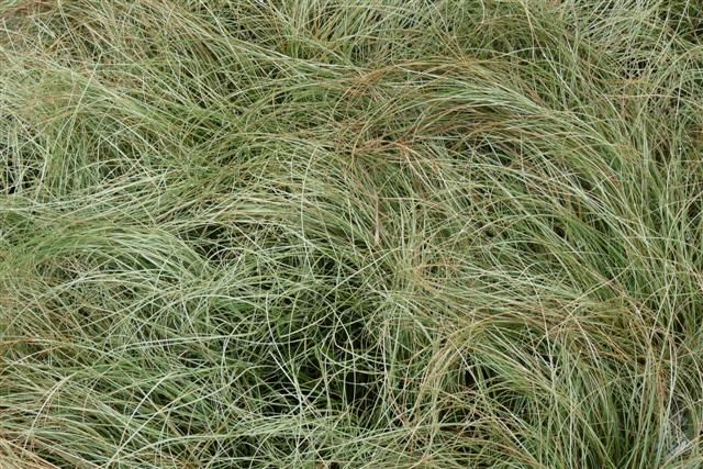 Carex comans 'Frosted Curls' (Smalbladige Zegge)