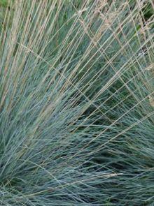 Festuca glauca (Blauw schapengras)