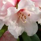 Rhododendron yakushimanum - 30/40