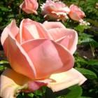 Rosa Aphrodite - container