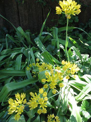 Allium moly - Goudlook