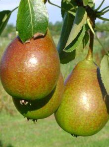 Pyrus communis Bonne Louise d'Avranches (halfstam perenboom)