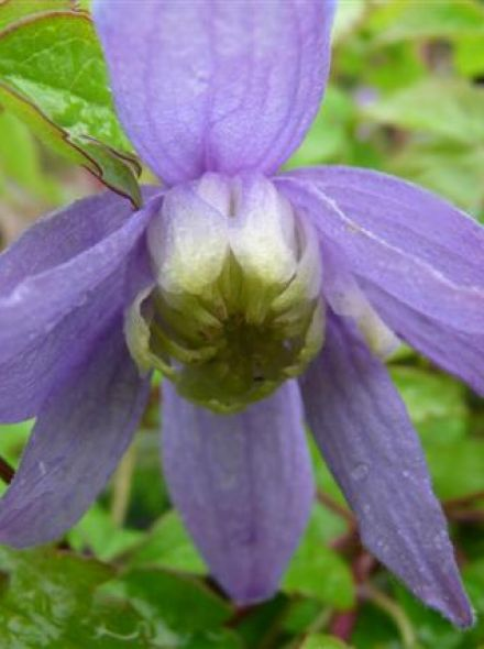 Clematis 'Betty Corning' (Bosrank of bosdruif)