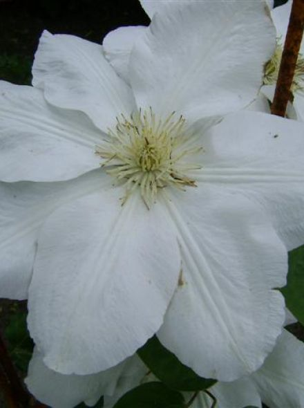 Clematis 'Madame Le Coultre' (Bosrank of bosdruif)