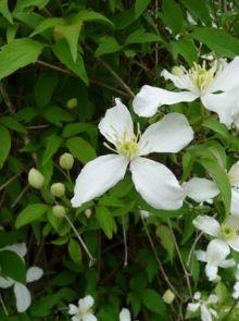 Clematis montana 'Alba' (Bosrank of bosdruif)