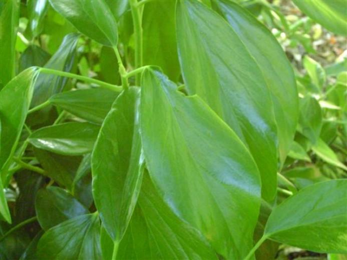 Hedera colchica 'Arborescens' (Struikklimop)