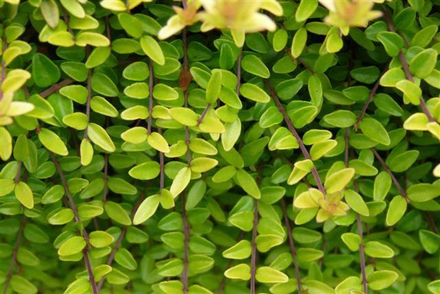 Ilex crenata 'Golden Gem' (Japanse hulst)