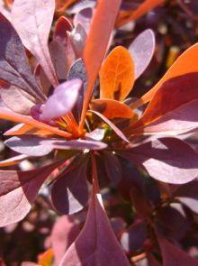 Berberis thunbergii 'Atropurpurea Nana' (Zuurbes)