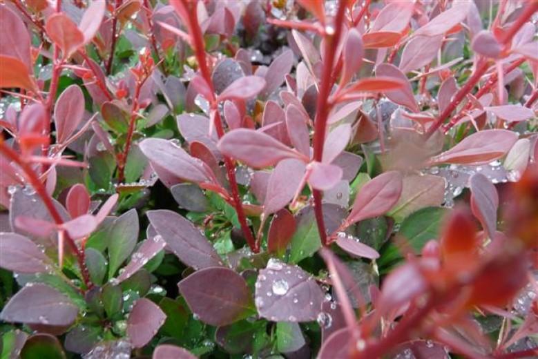 Berberis thunbergii 'Atropurpurea' (zuurbes)
