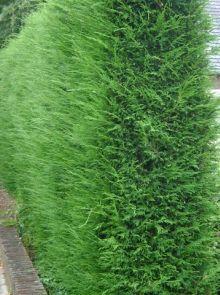 Cupressocyparis leylandii (snelgroeiende groene haagconifeer)