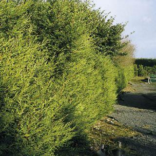 Cupressocyparis leylandii 'Castlewellan Gold' (snel groeiende haagconifeer)