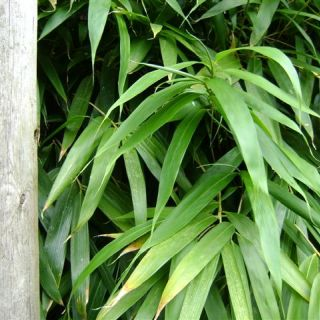 Pseudosasa japonica (Bamboe)