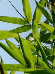 Semiarundinaria fastuosa (Zuilvormige bamboe)
