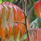 Rhus typhina (Fluweelboom, Azijnboom, Sumak) - c5 60/80 cm