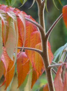 Rhus typhina (Fluweelboom, Azijnboom, Sumak)