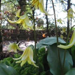 Erythronium 'Pagoda' - Hondstand