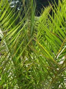 Phoenix canariensis (Dadelpalm)