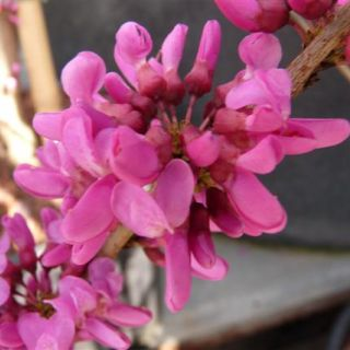 Cercis chinensis 'Avondale' (Chinese judasboom) - C5