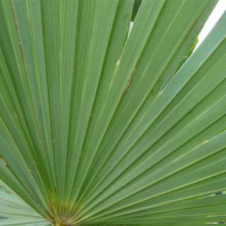 Trachycarpus wagnerianus (Waaierpalm, Winterharde palm)