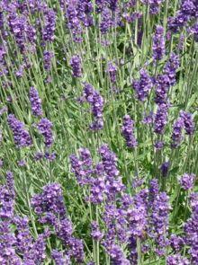 Lavandula  'Dwarf Blue' (Lavendel)