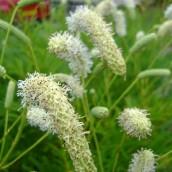 Sanguisorba tenuifolia alba - p9