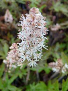 Tiarella cordifolia 'Pink Skyrocket' (Schuimbloem, Perzische muts, schuimbloem)
