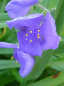 Tradescantia andersoniana 'Leonora' (Blauwviolet ééndagsbloem, Vaderplant)